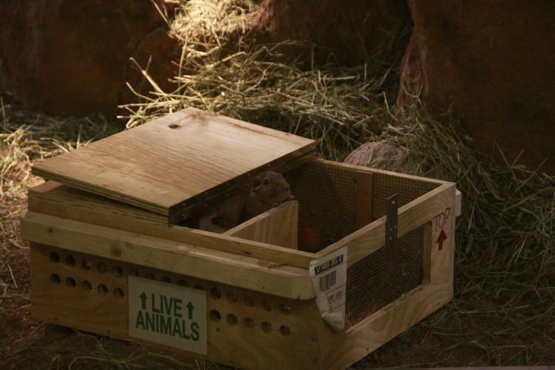 gundis in box