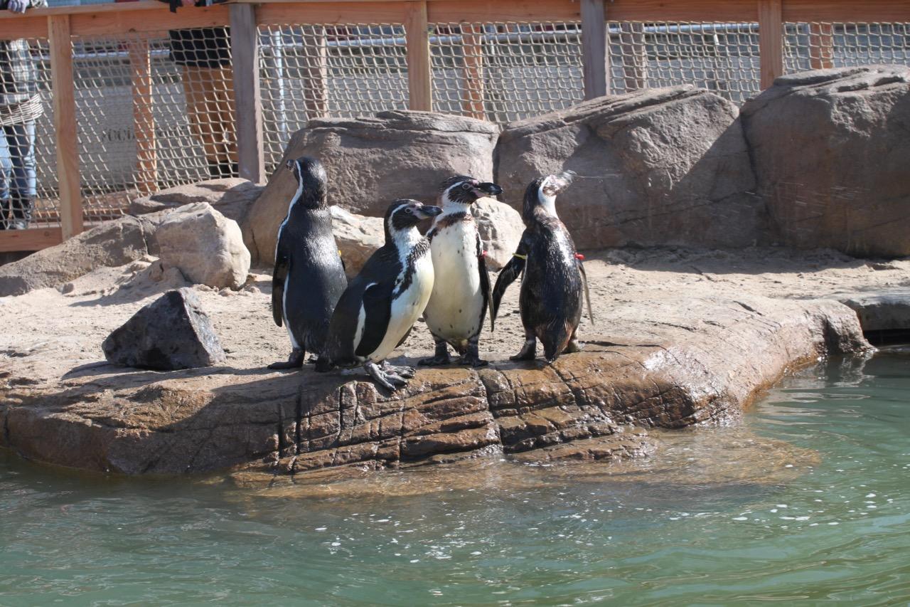 Penguins in artificial habitat.