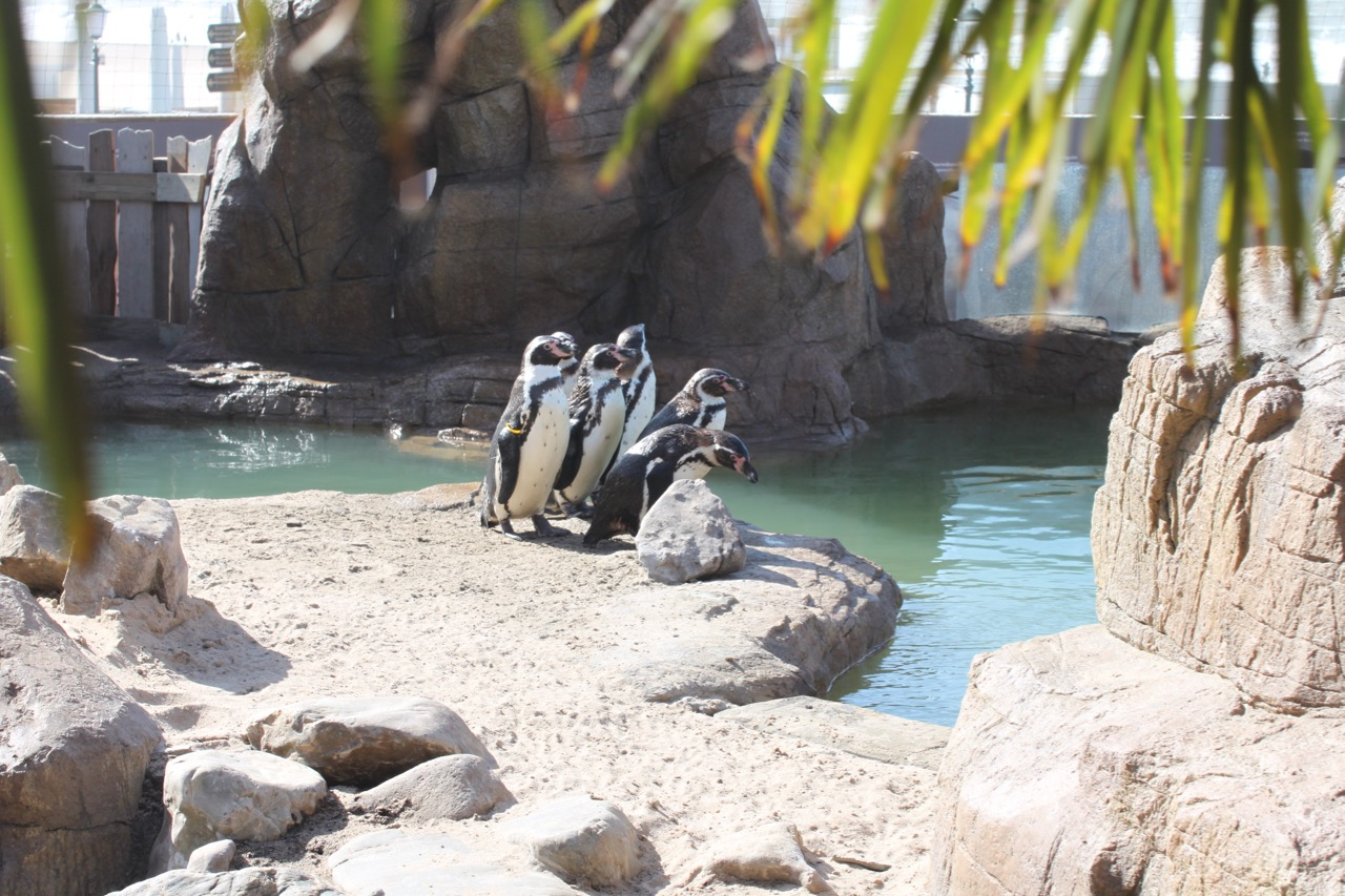 Group of penguins next to their pool.