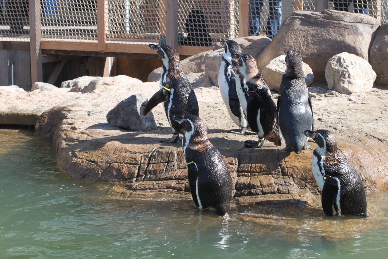 Penguins at edge of pool.