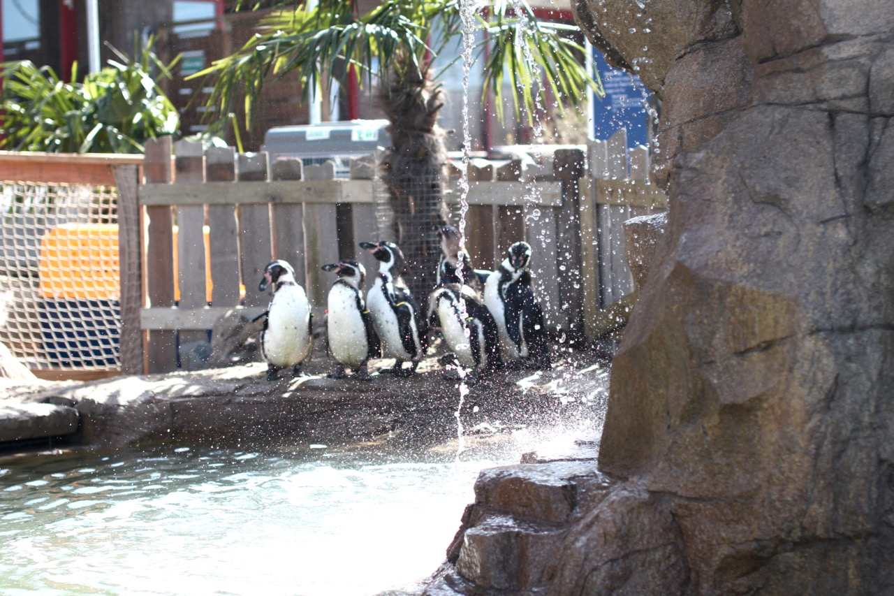 Group of penguins in artificial habitat.