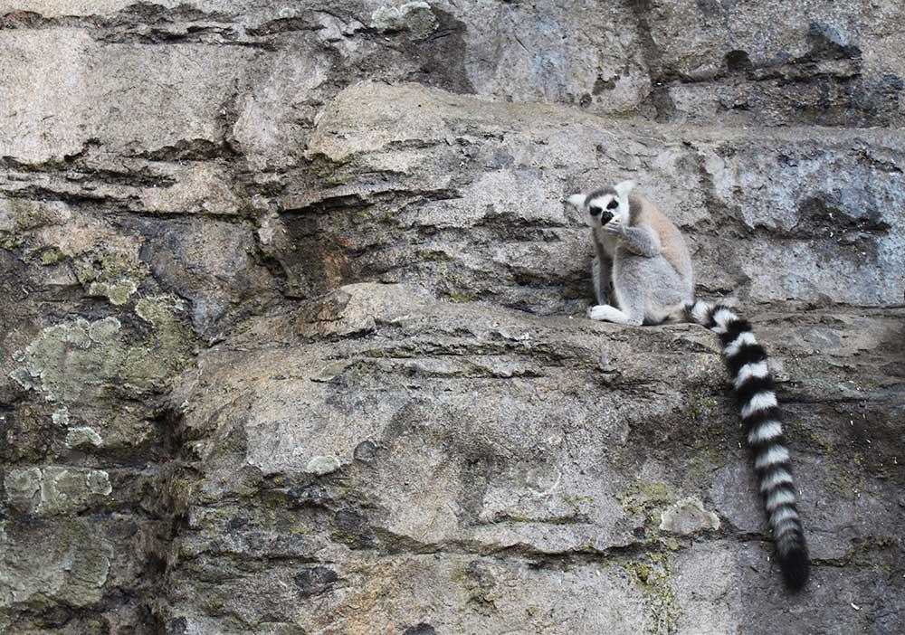 lemur-habitat-rockwork