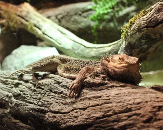 Lizard vivarium
