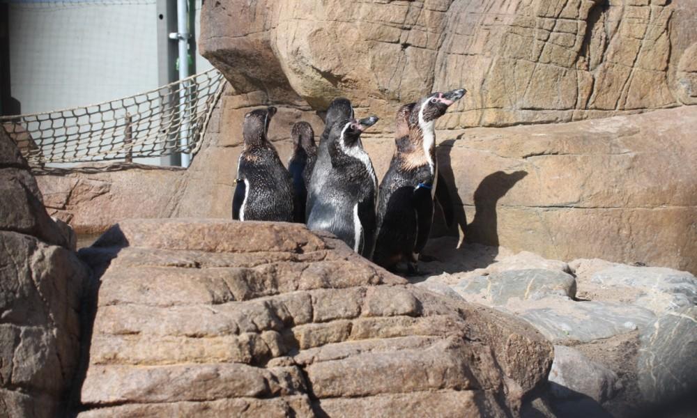Humboldt Penguin Habitat Scheveningen Sealife Centre