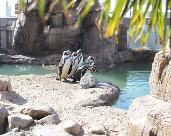 Humboldt penguin exhibit
