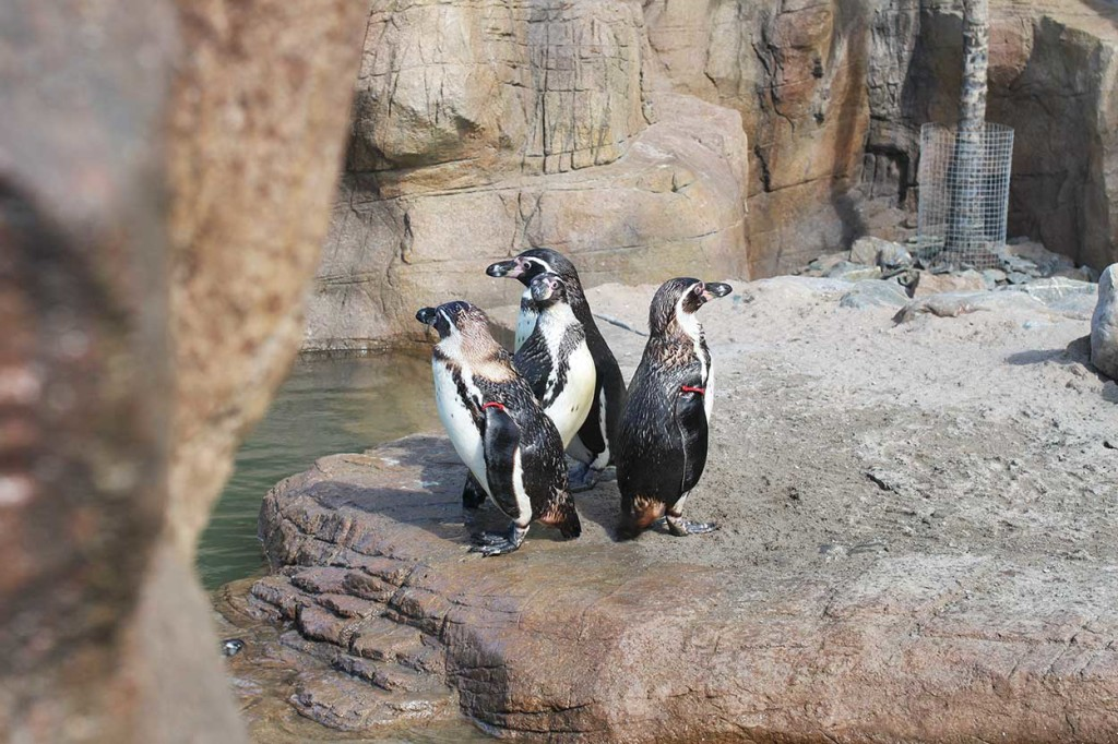 Humboldt penguin exhibit at Scheveningen Sealife Centre