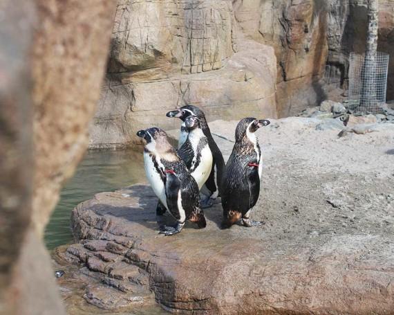 Humboldt penguin steps